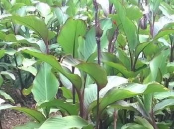 Đặc điểm sinh thái của cây dong riềng đỏ ở Việt Nam