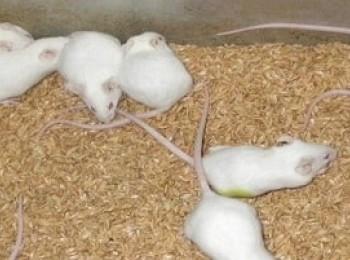 Kết quả nghiên cứu độc tính cấp Dong riềng đỏ trên chuột