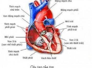 Cấu tạo của hệ tim mạch và các vai trò quan trọng