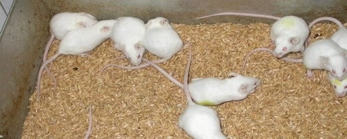 Chuột nhắt trắng chủng Swiss trong nghiên cứu