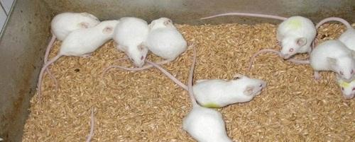 Chuột thí nghiệm trong nghiên cứu xác định độc tính của Dong riềng đỏ bằng phương pháp mô học